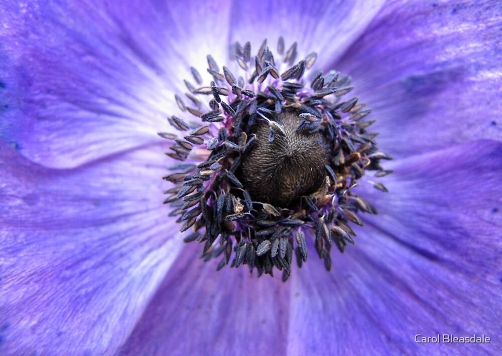 Anemone by Carol Bleasdale