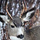Mule Deer by Alyce Taylor