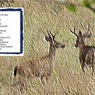 Two Deer Talking to My Angel Poem by Kenneth S Lapham
