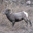 Rocky Mountain Big Horn Sheep by janetmarston