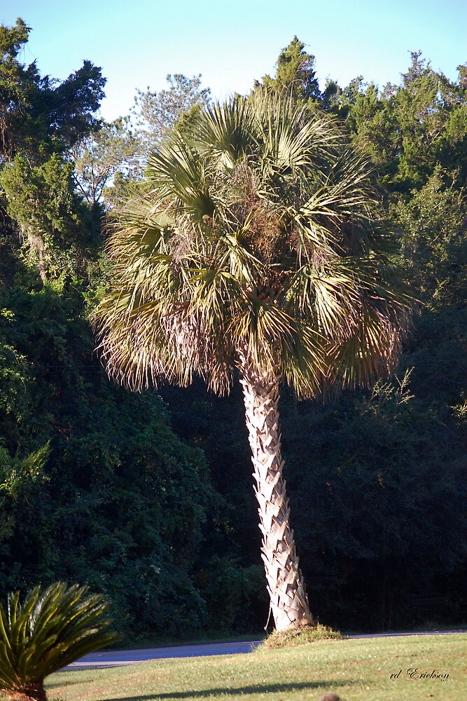 Quot Sabal Palm The State Tree Of Florida Quot By Rd Erickson