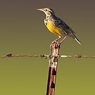 Meadowlark by CarolM
