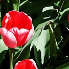 Red Tulips by kittenofdeath