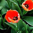 Orange Tulips by kittenofdeath