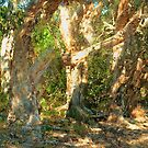 Paperbark trees, Lennox Heads NSW by Virginia McGowan