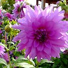Dahlia In Closeup by mcworldent