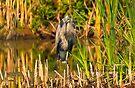 Great Blue Heron on One Foot by Yannik Hay
