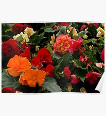Begonia garden Poster