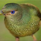 Bower Bird by Kym Howard