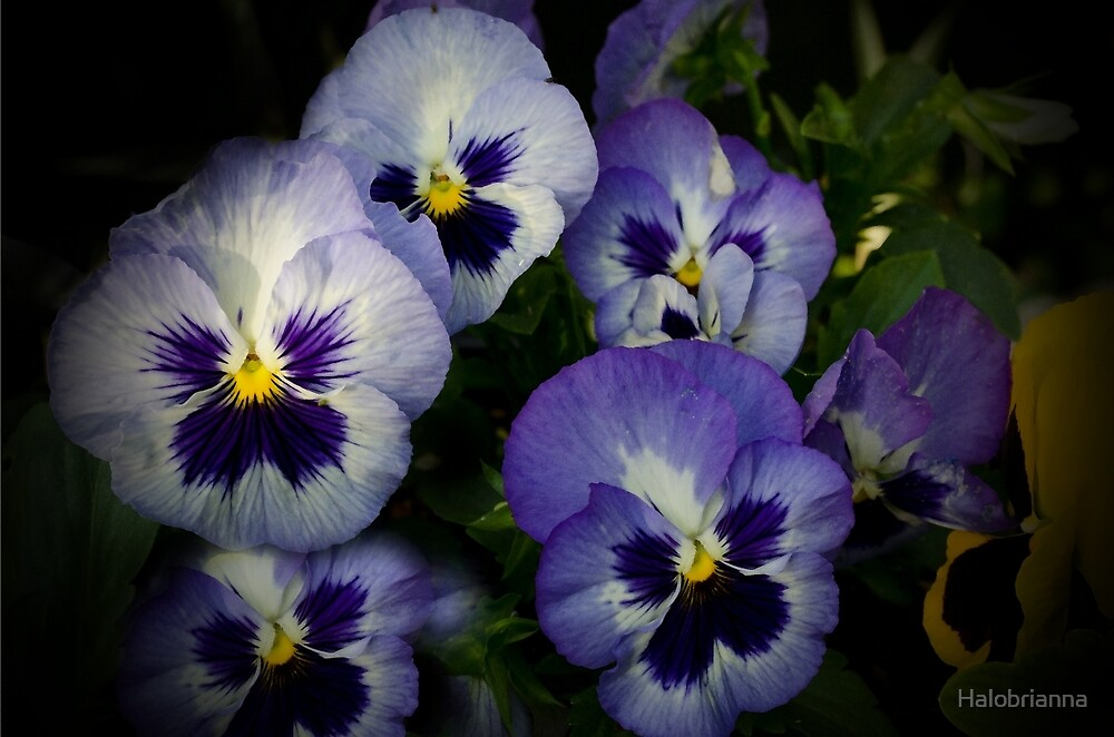 Pansie Faces by Halobrianna