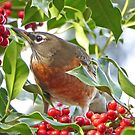 Christmas Morning Robin in a Holly Tree by Millions Missing Canada