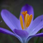 Crocus Up Close by Douglas  Stucky