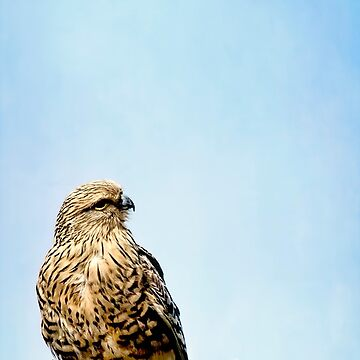 Greater Kestrel by KayBrewer