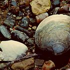 Northern Quahog Shell by Kathleen Daley