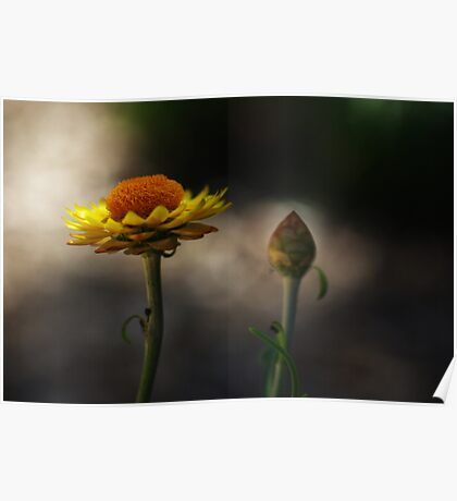 the morning paper daisies Poster
