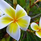 Frangipani #10 Beautiful white and yellow flowers by Virginia McGowan