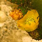 A Cactus Blooms. by MeBoRe