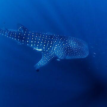 Whale Shark, Ningaloo, Western Australia by eschlogl