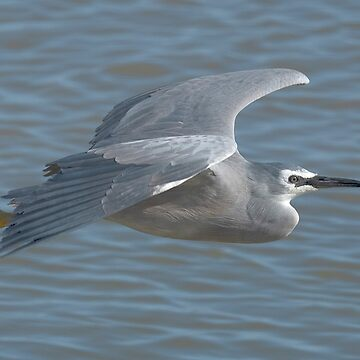 White faced Heron in flight by baji