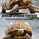 African Spurred Tortoise poster by David Lee Thompson