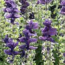 Garden Delight Lavendars by copperhead