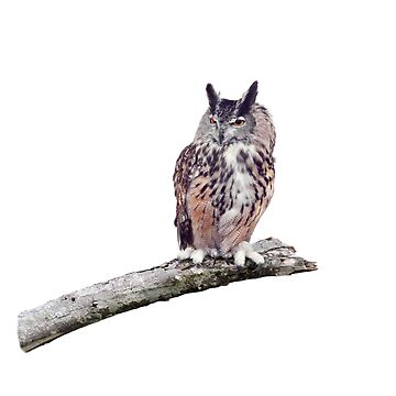 Great Horned Owl perched on a branch isolated on white background by svetlanna