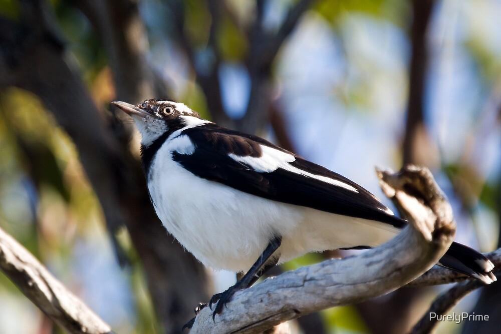 Australian Magpie-Lark perching by PurelyPrime