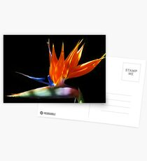 Bird of Paradise (Strelitzia reginae) Postcards