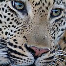 Leopard close up by Michael  Moss