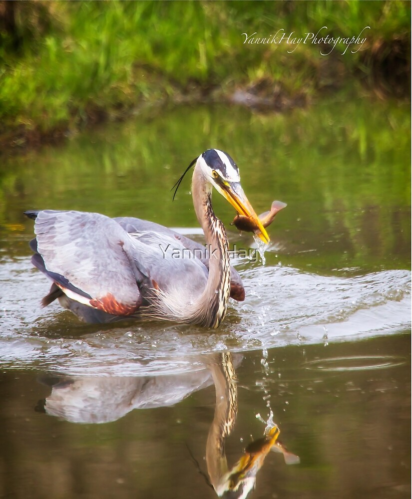 Great Blue Heron Fishing - Gatineau by Yannik Hay