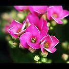 Bloom Pink by DavidWayne