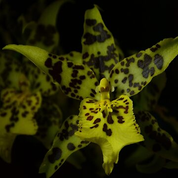 SPOTTY ORCHID by kazaroodie