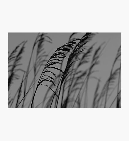 Sea Oats at Dusk Photographic Print
