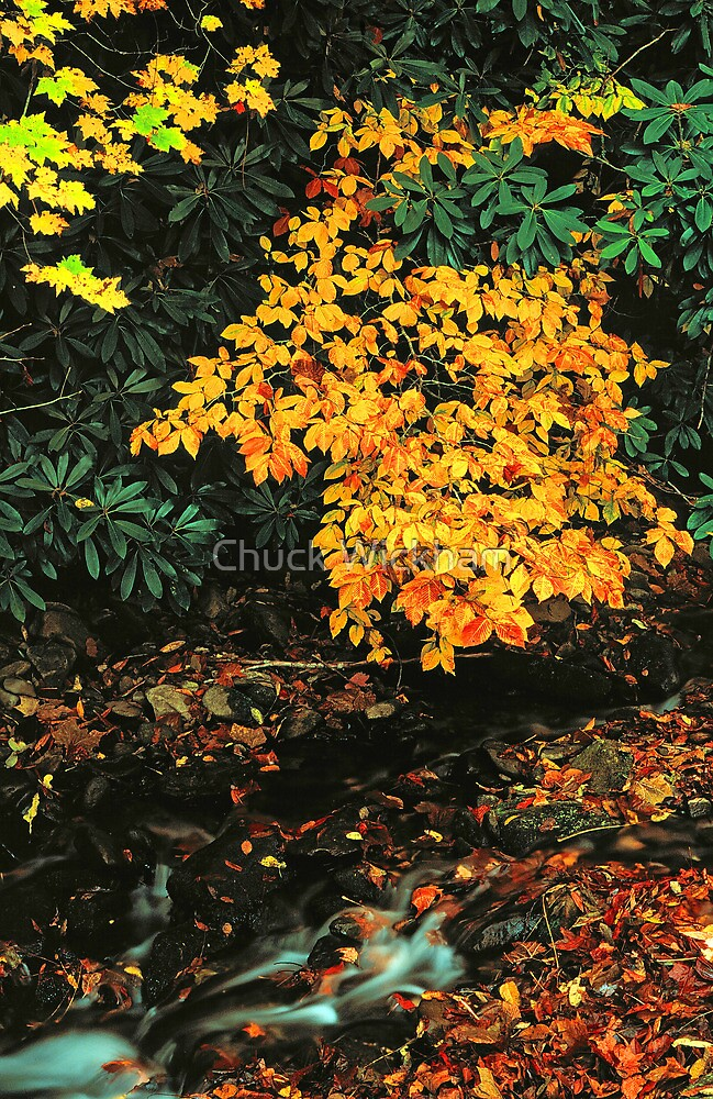 BEECH AND MAPLE,AUTUMN by Chuck Wickham