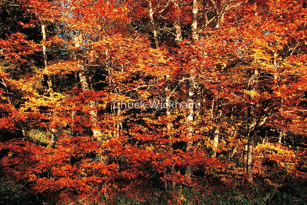 BEECH TREES,AUTUMN by Chuck Wickham