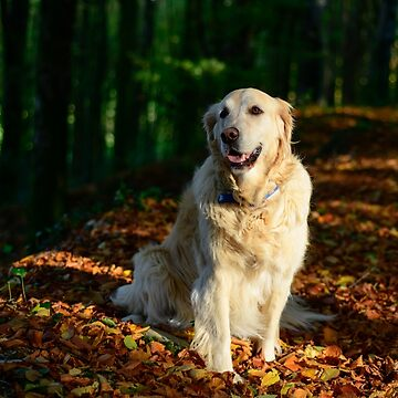 Golden retriever on golden leaves by AndyJones