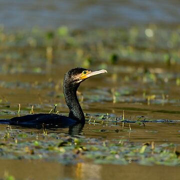 Cormorant swimming on Lago di Alviano, Umbria, Italy by AndyJones
