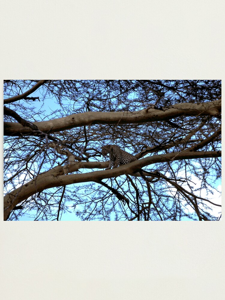Alternate view of Leopard ~ 1974 Photographic Print
