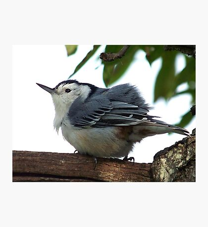 White-breasted nuthatch fluffing his feathers. Photographic Print