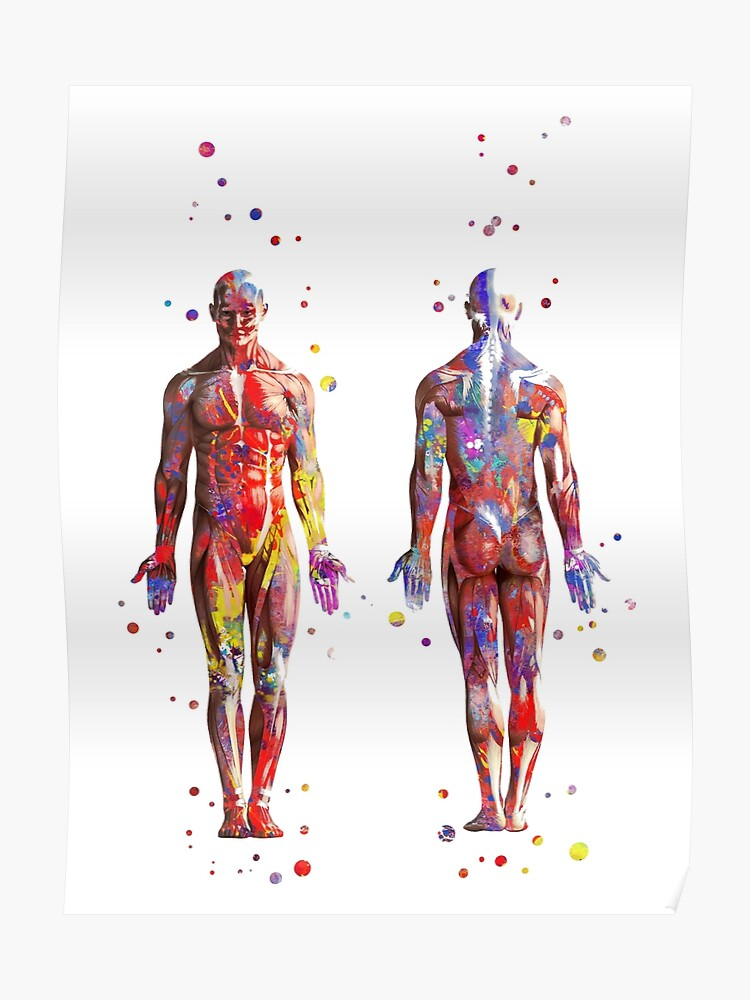 Muscular System, watercolor anatomy art, human muscles, medical art, man  body | Poster
