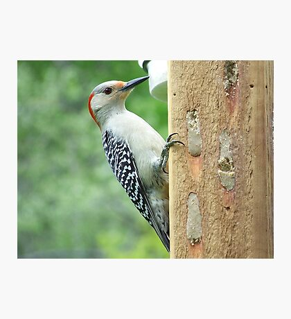 A female Red-Bellied Woodpecker. Photographic Print