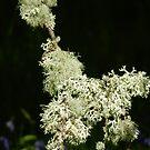 Lichens on twig - Dawyck, late May by Babz Runcie