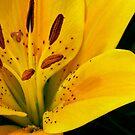 Yellow Tiger Lily by Alison Cornford-Matheson