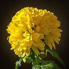 Yellow Chrysanthemum by DPalmer