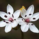 Milkmaids (Burchardia umbellata) - Australia by Bev Pascoe