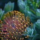 Leucospermum Patersonii - changing colour by imaginethis