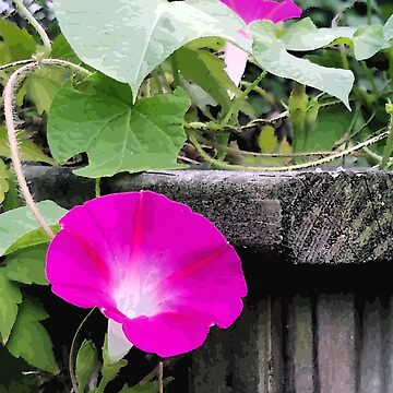 Wild Pink Morning Glory by BettyMackey