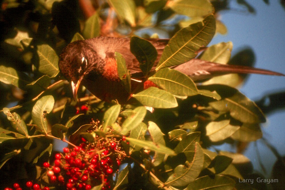 Robin eating berries by Larry  Grayam