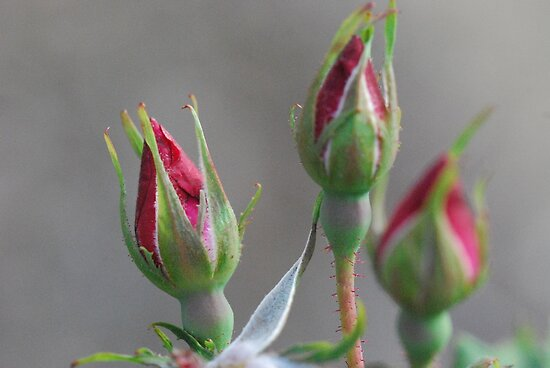 Rose Buds by MissyD