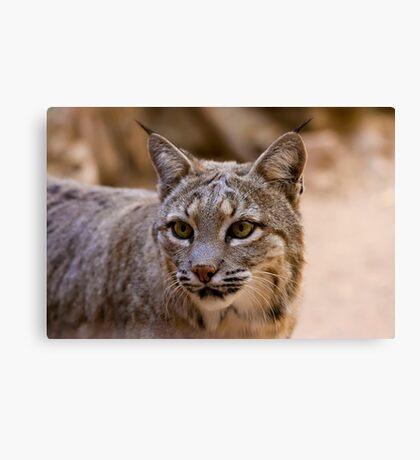 Portrait of a Bobcat Canvas Print
